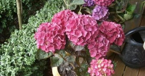 Hydrangea Raspberry Crush Google Search Hydrangea Plants Raspberry