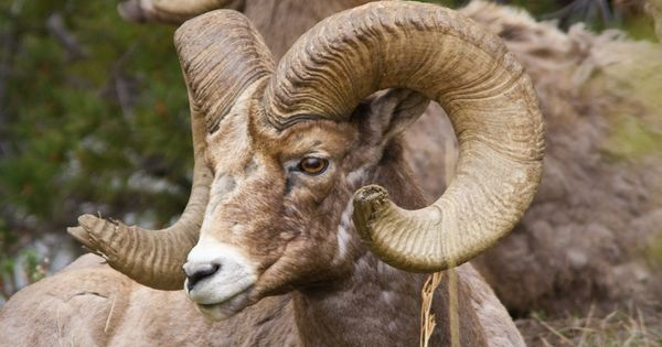 Big Horn Sheep, Yellowstone National Park, USA