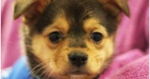 Adopt Harry From The Seattle Humane Society He S A 2 Month Old Corgi Mix With Cute Little Toes Puppies Cute Puppies Humane Society