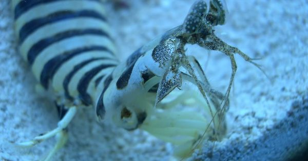 Zebra mantis shrimp eyes - photo#14