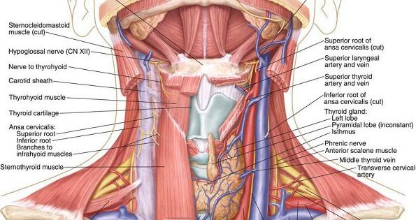 Anatomy of posterior neck