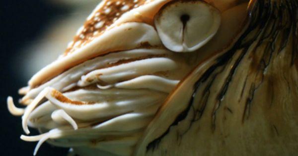 Mollusk Facts Habitat Behavior Diet Chambered Nautilus Nautilus Nautilus Pompilius