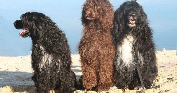 Perro De Agua Portugues Portugese Water Dogs Portuguese Water Dog Best Dogs