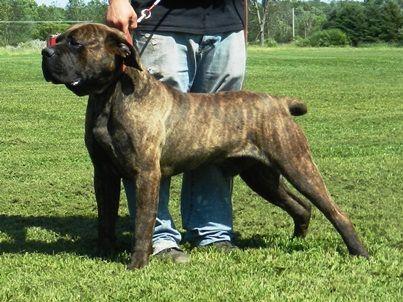 American Bandogge Mastiff Bulldog Mastiff Cross Info