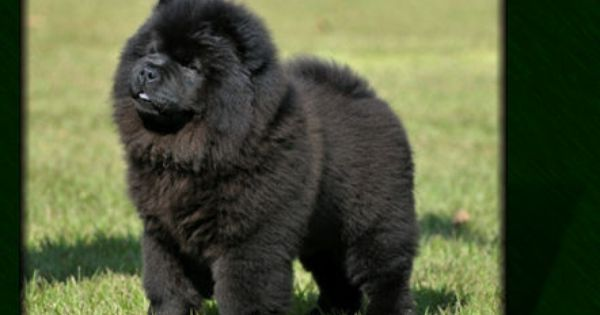 Black Chow Chow Puppies Any One Want A Little Black Bear With