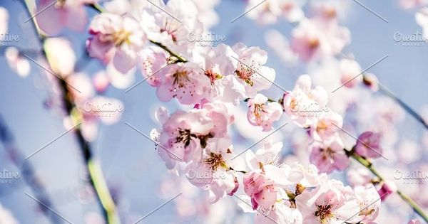 Almond-tree blooming white and pink flowers with blue sky background