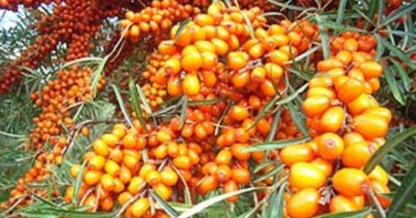 Plants d 39 argousier arbuste enracin v tatiana vendre dans les cantons de l 39 est du qu bec - Plant de rhubarbe a vendre ...