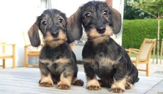 Fantasy Games Espn Wire Haired Dachshund Dachshund Puppies Cute Dogs