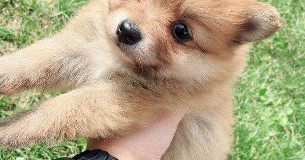 Teacuppomeranianpuppy In 2020 Pomeranian Puppy Teacup Cute Teacup Puppies Pomeranian Puppy