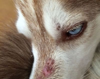 Natural Remedies For Sarcoptic Mange In Dogs