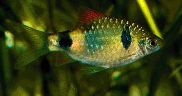 Two Spot Barb Puntius Narayani Aquarium Fish Tropical Fish Colorful Fish