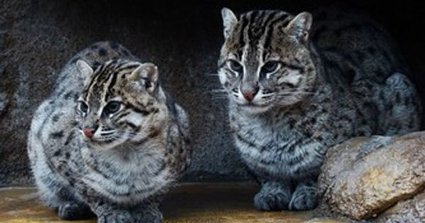 Iriomote Wild Cat
