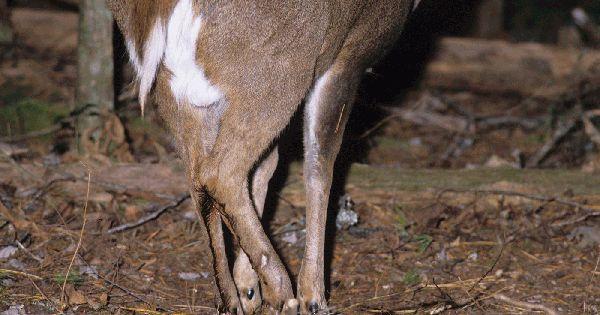 how to cut up a deer leg