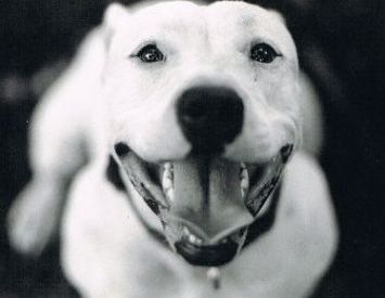 Ring Dog Rescue Is A Bully Rescue Group In Richmond Va Many