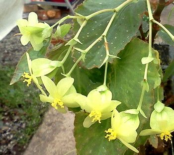 Begonia Mello Yellow First Truly Yellow Cane Begonia Low Growing With Bright Green Leaves Which Sometimes Show Darker Mar Begonia Green Leaves Bright Green