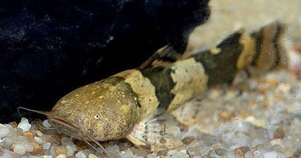 South American Bumblebee Catfish Profil Information Goodmorning Catfish Fishing Catfish Catfish Tank