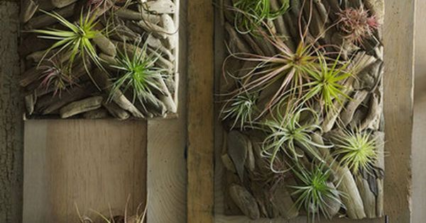 Driftwood living wall garden with air plants