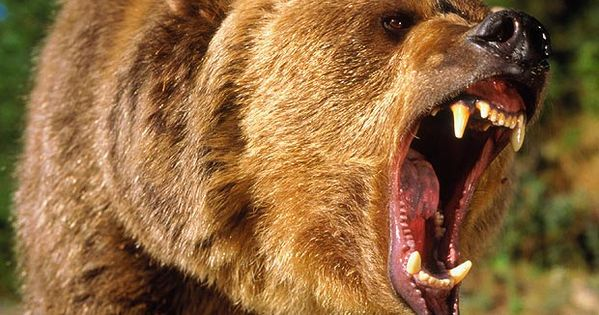 Angry Animals Google Search: Grizzly Bear Attack - Google Search