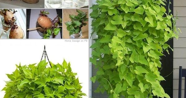 Indoor Sweet Potato Vine Indoors: from WonderfulDIY.com - BETTER INSTRUCTIONS ON HOW