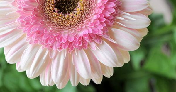 Lollipop Gerber Daisy. Gerbera is a genus of ornamental plants from the