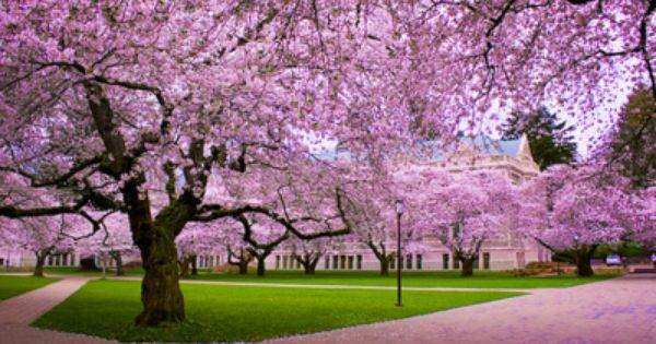 The World We Live In Blossom Trees Cherry Blossom Tree Cherry Blossom Festival