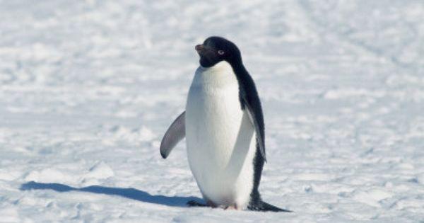 Adelie Penguin In Snow Antarctica Photographic Print Mike Hill Art Com Adelie Penguin Penguins Photographic Print