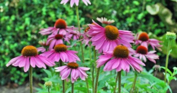 Coneflower Care Growing And Planting Purple Coneflower Annual Plants Plants Perennials