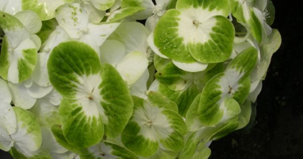 Hydrangea Macrophylla Queen Of Pearls Ppaf Shrub To 6 Feet Zone 6 Griffithnursery Com Hydrangea Varieties Hydrangea Hydrangea Garden