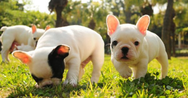 I Just Want One So Baddddddd French Bulldog Puppies Bulldog Puppies Puppies