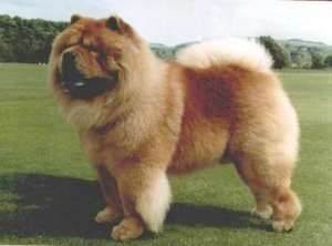 Top 20 Cutest Dog Breeds Around The World Chow Chow Dogs Dog
