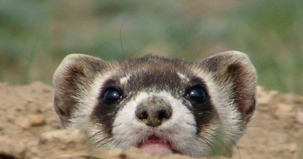 Dog Looks Like Ferret Interesting Black Footed Ferret Facts For
