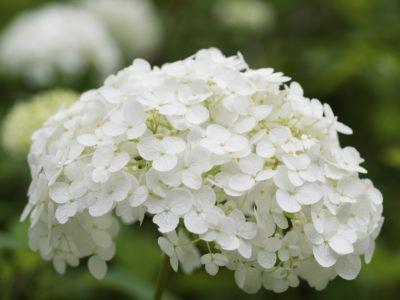 Cold Hardy Hydrangeas Choosing Hydrangeas For Zone 4 Hardy Hydrangea Planting Hydrangeas Growing Hydrangeas