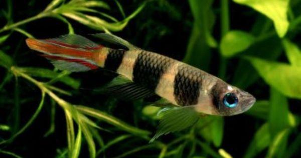Clown Killifish For Sale Fish Gumtree Australia Toowoomba Surrounds Southbrook 1058418206 Fish Tropical Freshwater Fish Fish Gallery