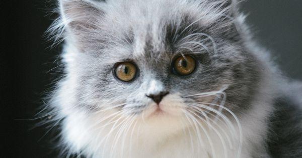 mon parcours de maman chat chaton gris bicolore bleu et blanc chaton british longhair des. Black Bedroom Furniture Sets. Home Design Ideas