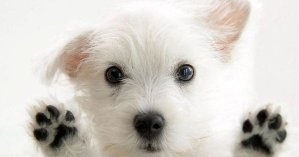 West highland terrier - westie