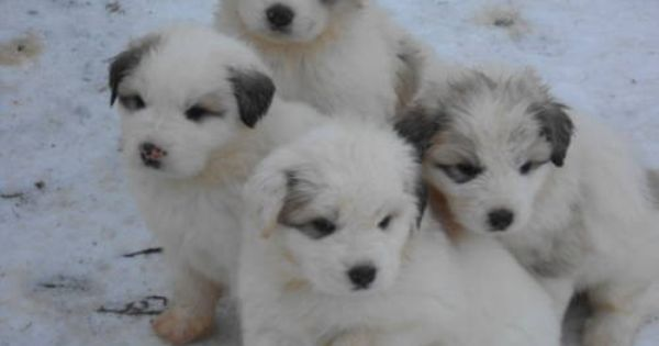 Great Pyrenees Puppies Great Pyrenees Puppy Great Pyrenees Top Dog Breeds
