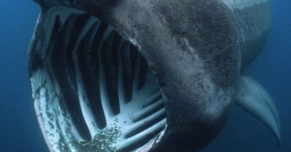 BASKING SHARK Fun Facts: After the whale shark, the basking shark is
