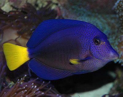 Fish Profile Purple Tang Zebrasoma Xanthurum By Nathaniel Walton Reefkeeping Com Tang Fish Fish Image Of Fish