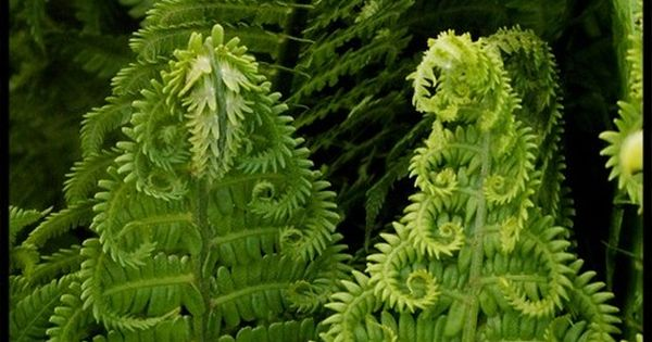 angelyncolette: ferns. i love them and want them to be everywhere, all
