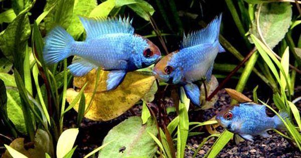 Tropical Freshwater Aquarium Fish Mail Order German Blue Rams Cichlids Labyrinth Fish Rain Aquarium Fish Tropical Freshwater Fish Freshwater Aquarium Fish