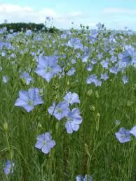 Flaxseed In Vegetarian Diets Is A Good Source Of Essential Fatty Acids Protein Carbohydrates The Phytochemical Lignan Flax Flowers Beautiful Flowers Plants