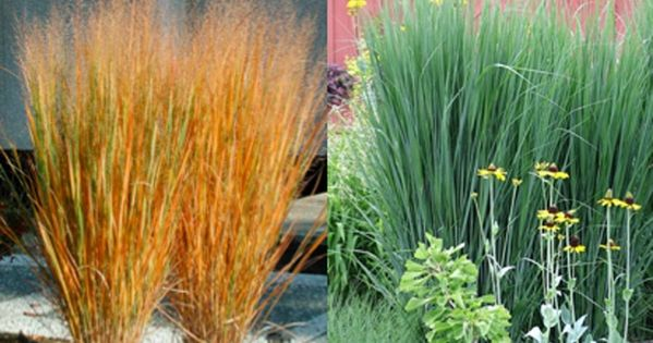 Panicum virgatum northwind stonepocket know what you for Brown ornamental grass plants