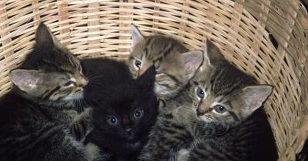 Can You Introduce An Orphaned Kitten To Another Litter Of Kittens Fleas On Kittens Newborn Kittens Kittens