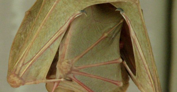 Egyptian Fruit Bats - there is a baby tucked in mama's folds,