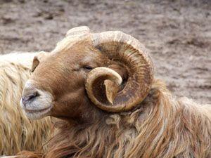 Karakul Sheep Or Qaraqul Is A Breed Of Domestic Sheep Which