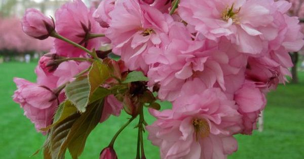 Eight Things You Probably Don T Know About Flowering Cherry Trees Brooklyn Botanic Garden Flowering Cherry Tree Flowers Cherry Tree