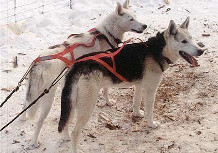 Seppala Siberian Sleddog Info History Temperament Training