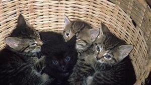 panacur giardia gatos
