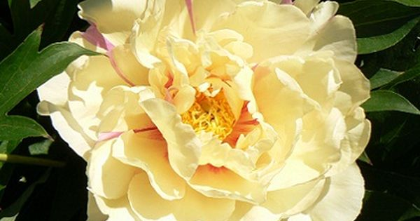 Peony Lemon Dream Midseason Itoh Hybrid Semi Double Yellow A Delightful Light Yellow Bloom That Can Have A Lavender Yellow Peonies Peonies Garden Peonies