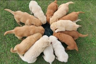 Online Dog World Golden Retriever Golden Retriever Colors